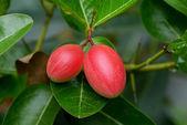 Super fruit (Carissa carandas Linn.) — Zdjęcie stockowe