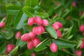 Super fruit (Carissa carandas Linn.) — Stock Photo