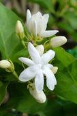 White Jasmine flower. — Stock Photo