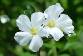 White Adenium obesum. — Stock Photo