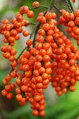 Orange seed of Fan palm. — Stock Photo