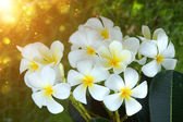 Frangipani flower in the morning. — Stock Photo