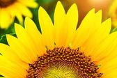 Pollen en bloemblaadjes van zonnebloemen. — Stockfoto