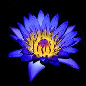 Cerca de flor violeta waterlily. — Foto de Stock