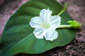 White flowers. — Stock Photo