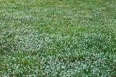 White flower grass in the garden. — Stock Photo