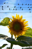 Sunflower and birds on wires — Stock Photo