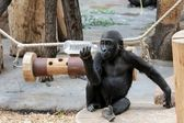 Young gorilla acting Shakespeare — Stock Photo
