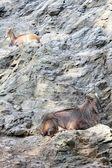 Himalayan tahr — Stock Photo