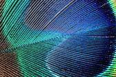 Peacock feather — Stock Photo