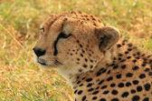 Cheetah Headshot — Stock Photo