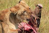 Lion With Prey — Stock Photo