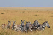 Zebras on Savannah — Stock Photo