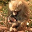 Olive Baboon With Baby — Stock Photo