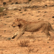 Lion Running — Stockfoto