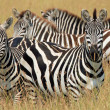 Постер, плакат: Zebras in Grass