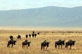 Wildebeests — Stock Photo