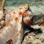 Постер, плакат: Caribbean Reef Octopus