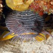 Splendid Toadfish — Stock Photo