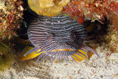 Splendid Toadfish — Stock Photo