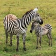 Zebra with Foal - Stock Photo