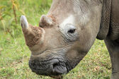 White Rhino Close-up — Stock Photo