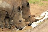 White Rhinos Drinking — Stock Photo