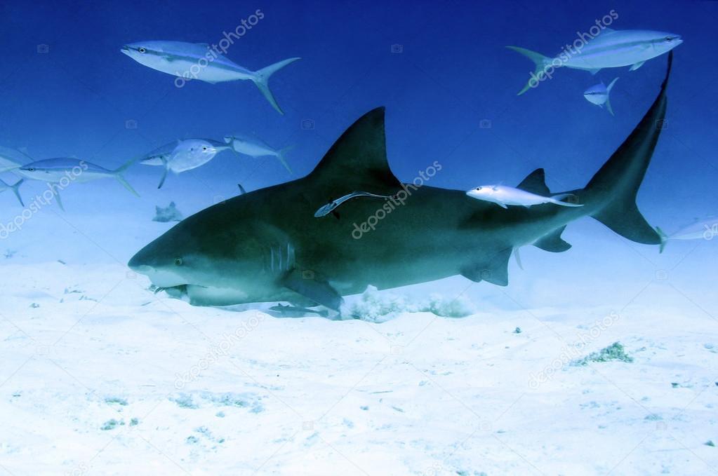 Bull shark eating people
