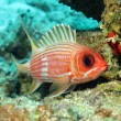 Stock Photo: Longspine Squirrelfish