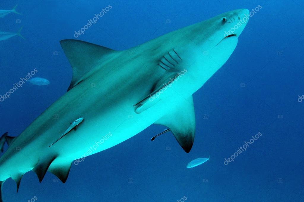 メジロザメ属のサメ — ストック...