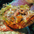 Stock Photo: Spotted Scorpionfish