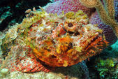 Spotted Scorpionfish — Stock Photo