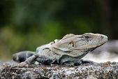 Close-up de uma iguana preta-de-cauda-espinhosa — Foto Stock