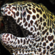 Close-up of a Juvenile Honeycomb Moray Eel — Foto Stock
