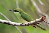 Green Bee-eater on a Branch — Stockfoto