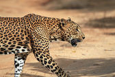 Profile View of a Walking Leopard — Stock Photo