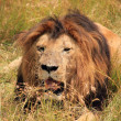 Male Lion Resting in the Grass — Stock Photo