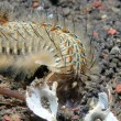 Peacock Bristle Worm — Stock Photo