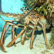 Caribbean Spiny Lobster — Stock Photo #32839871