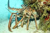 Karibská ostnatý humr — Stock fotografie