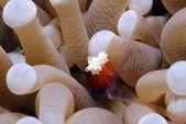 Coral cogumelo fantasma camarão — Foto Stock