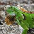 Stock Photo: Green Iguana