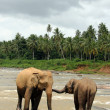 Lankesian Elephans in River — Stock Photo