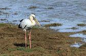 Pelican maculirostris — Foto de Stock