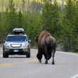 Stock Photo: Bison on Road