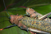 Giant Brown Crickets Mating — Stock Photo