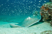 Southern Stingray — Photo