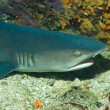 White-tip Reef Shark — Stock Photo