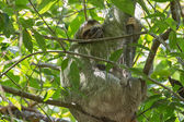 Three-toed Sloth — Stock Photo