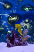 Seahorse with coral — Stock Photo